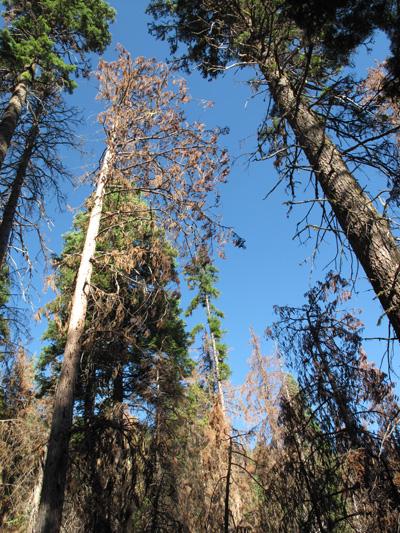 Alaska yellow-cedar mortality in the Aldrich Mountains.