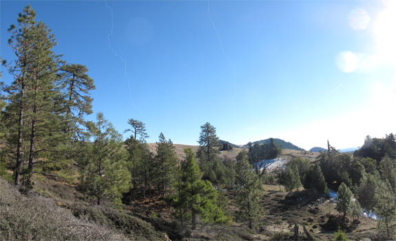 A small forest of Jeffrey pine and incense-cedar near the headwaters of the Mattole River.