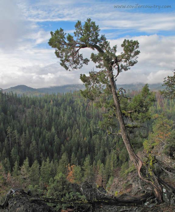juniperus-grandis3