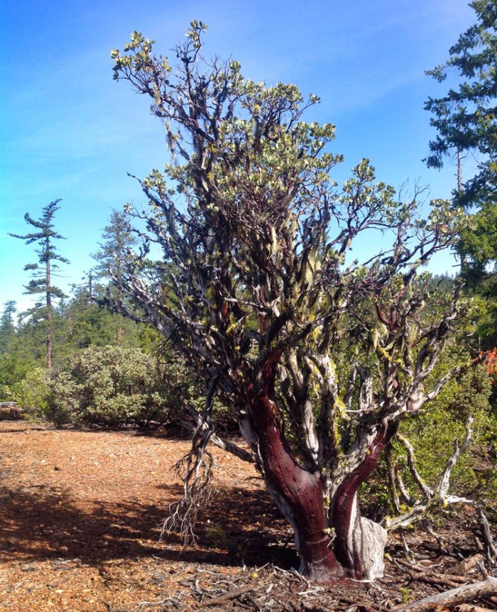 Arctostaphylos canescens thrives in the region.