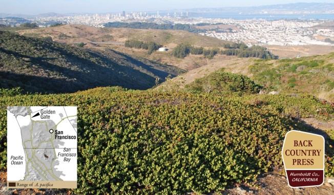 Arctostaphyos pacifica, an endemic species to San Bruno Mountain. Photo by Jeff Bisbee.