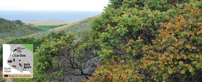 Arctostaphylos pechoensis on Monterey Shale.