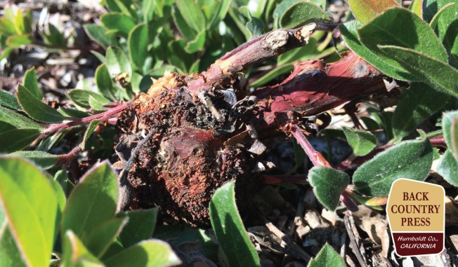 Arctostaphylos uva-ursi with a burl? Only on San Bruno Mountain.
