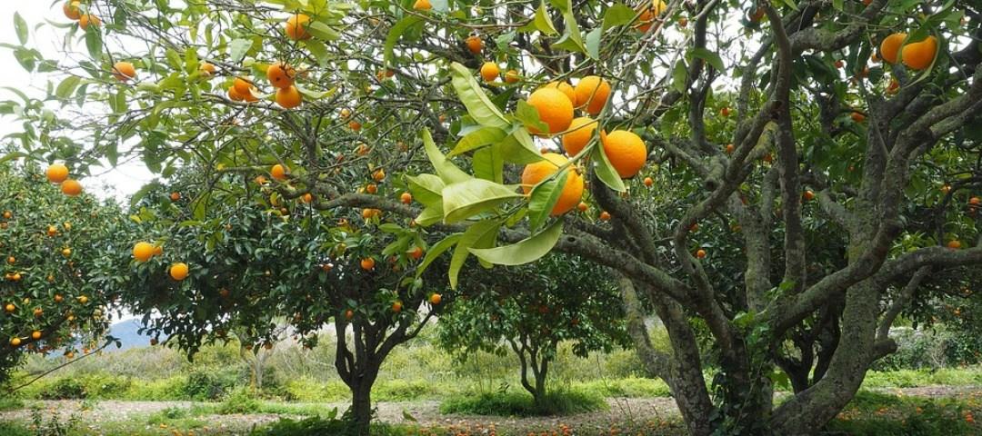 oranges_tunisie