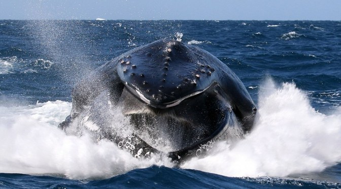 Whale, hello there! Photographer snaps majestic mammal breaching water