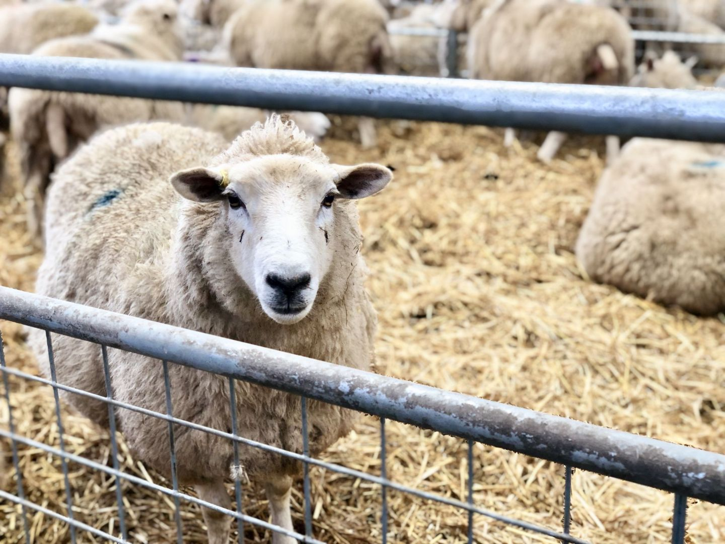 Pregnant ewe at Cotswold Farm Park, Cotswold Baby Co