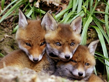 Baby Fox Cubs - Fun Facts about Foxes Blog | Cotswold Baby Co.