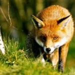 Fun Facts about Foxes Blog | Cotswold Baby Co.