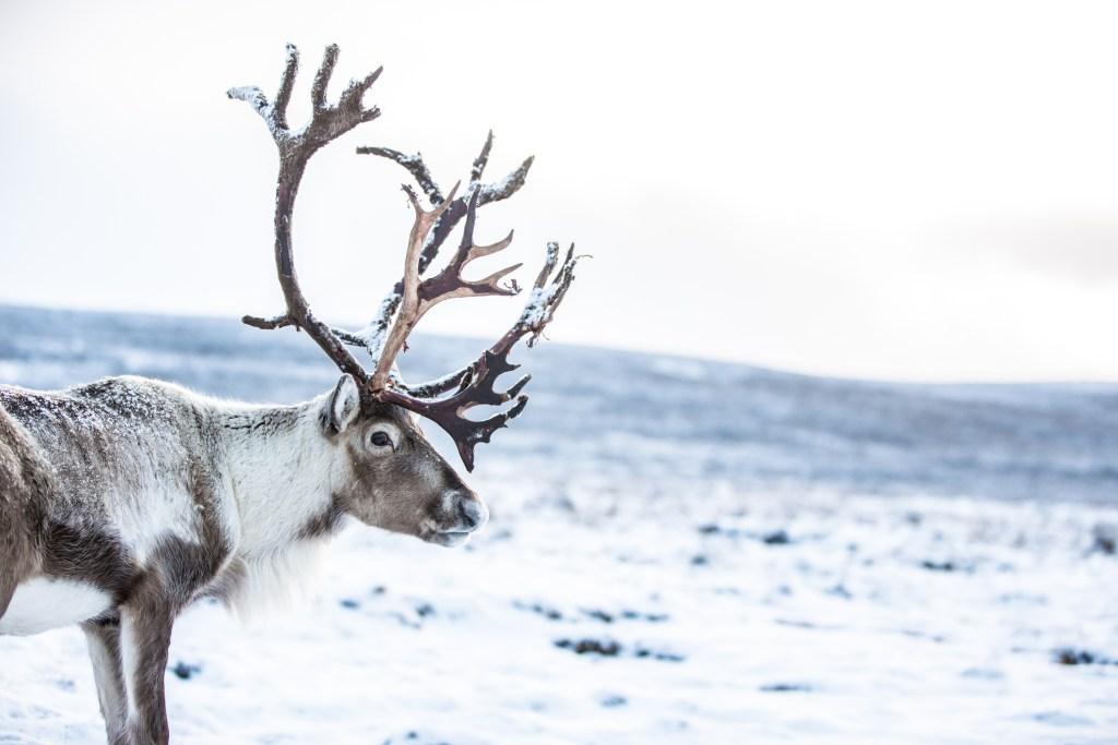 Reindeer Cairngorms