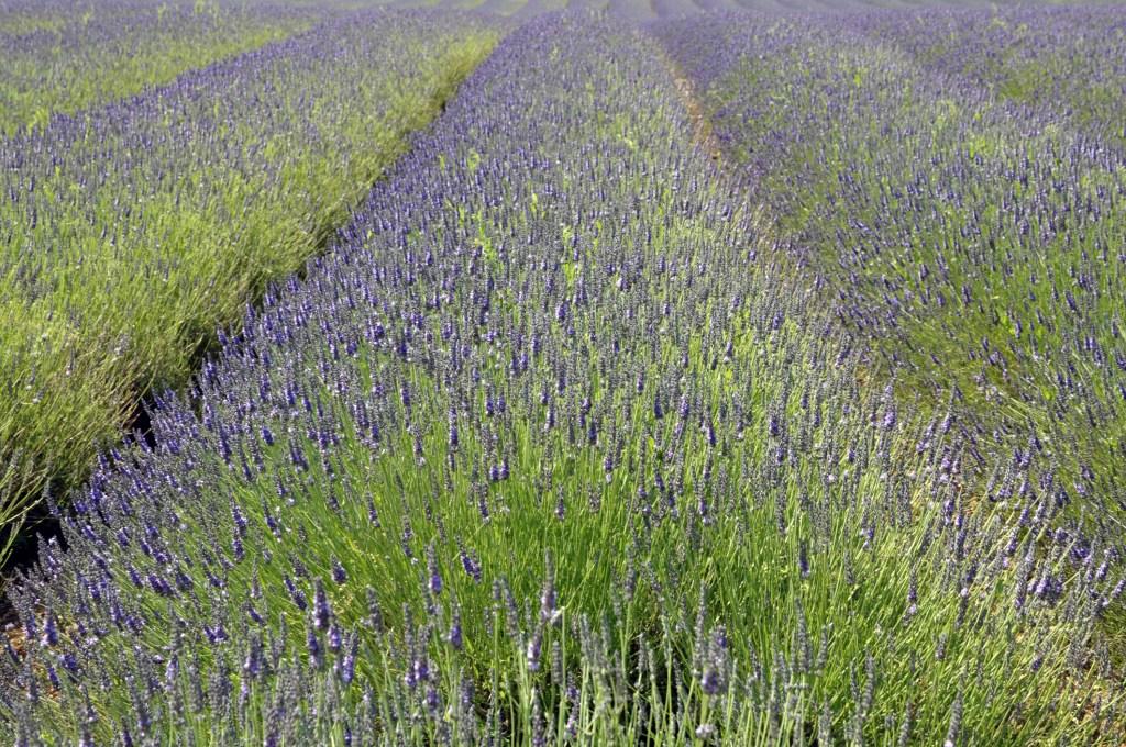Norfolk Lavender Fields, Heacham