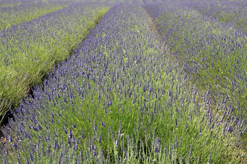 Norfolk Lavender Fields, Heacham