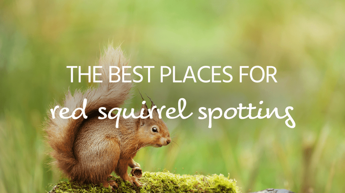 Red squirrel spotting UK