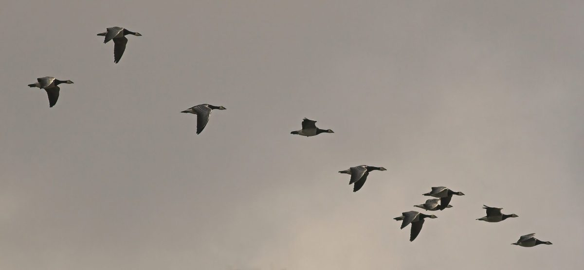 Geese migration licensed through Creative Commons https://commons.wikimedia.org/wiki/File:BrantaLeucopsisMigration.jpg