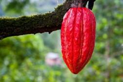 Extracteur-de-jus-kuvings-cacao-riollo-laitvegeteal-
