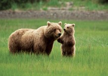 Mama grizzly bear and her bear cub in Alaska