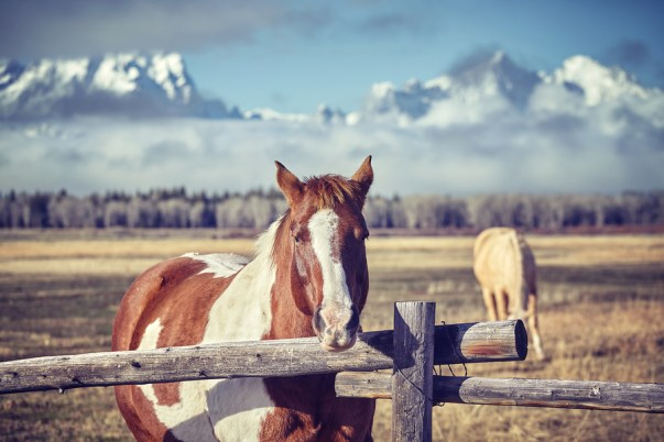 Horses grazing against the backdrop of the Grand Teton Mountains