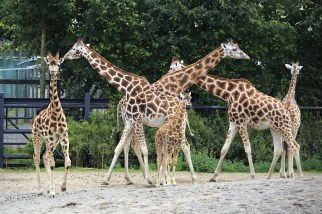 Herd of giraffes with cub Dublin Zoo