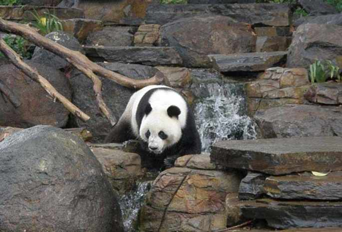 Play with Panda at Adelaide Zoo