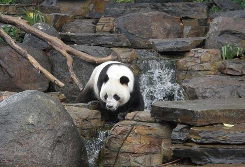 Play with Panda at Adelaide Zoo