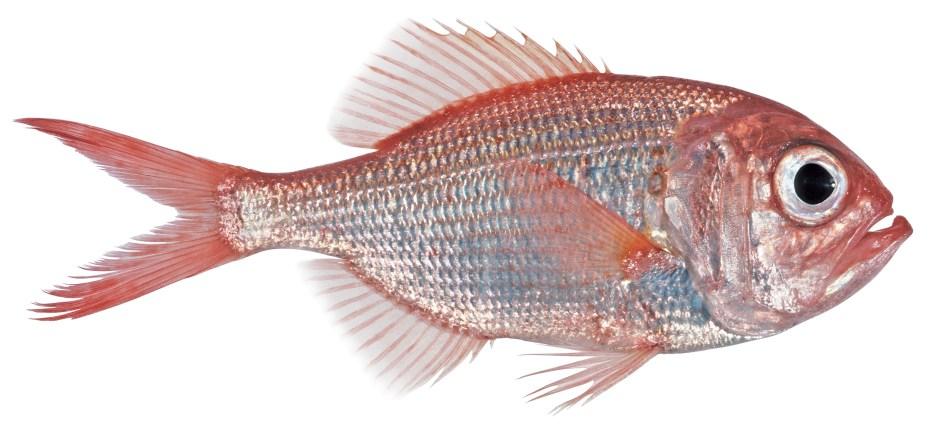 Common name: Redfish. Scientific name: Centroberyx affinis.