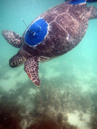 This satellite-tagged turtle will signal its position each time the aerial breaks the sea surface.