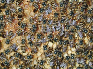 Asian honey bees