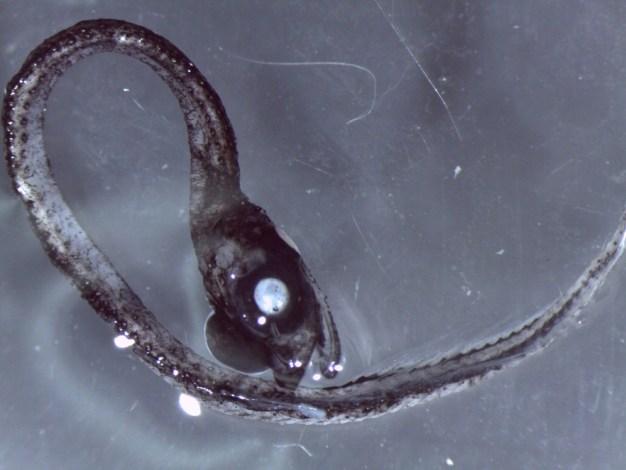 Idiacanthidae.