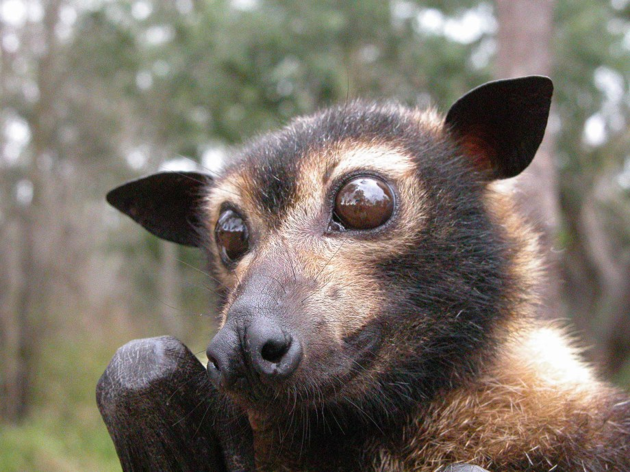Not all bats are terrifying: The Spectacled Flying Fox is actually quite adorable.