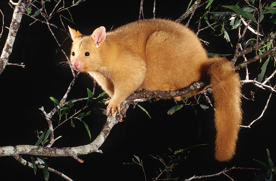 A copper brushtail possum on a tree branch