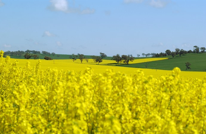 Canola fields forever – spreading the science and tech benefits of canola