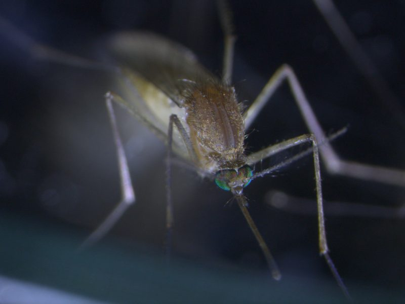 Egg-laying mosquitoes have been found in more than 20% of domestic rainwater tanks inspected in Melbourne homes. What can we do to keep them out?