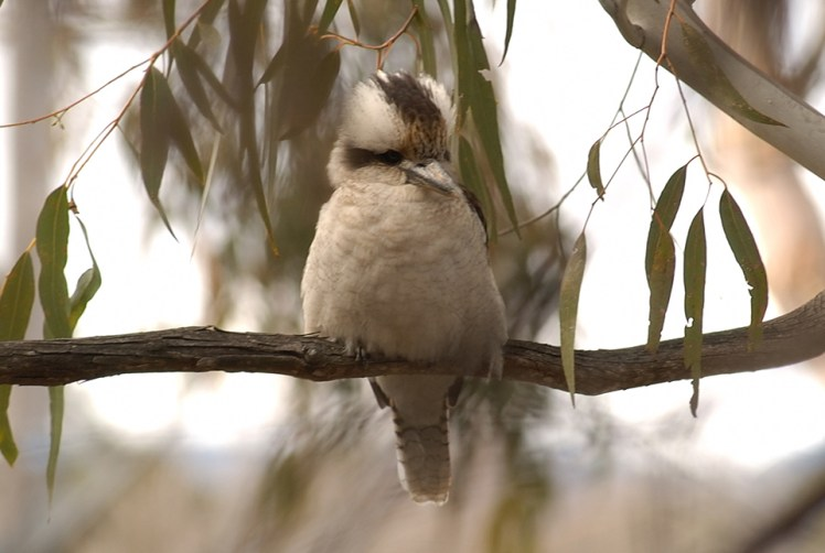 Kookaburra sitting in a tree