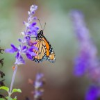 Sunday's Monarch March marks annual migration