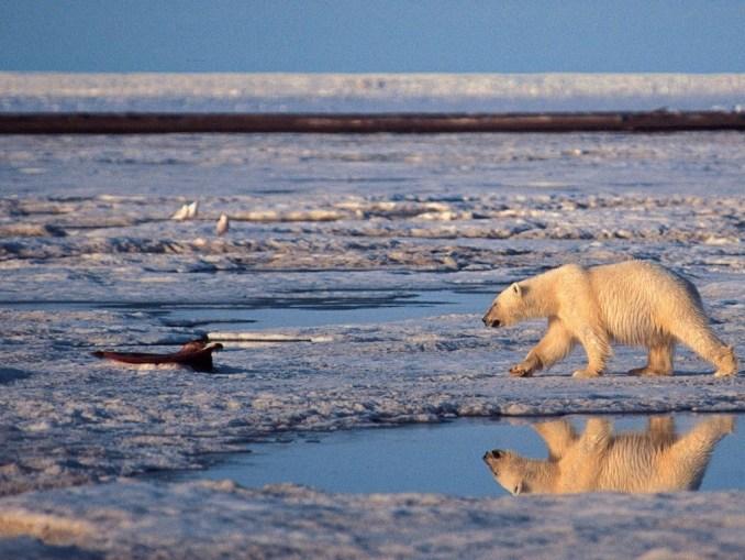 Ours polaire dans la réserve arctique de l'Alaska