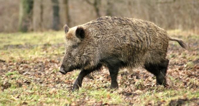 sanglier-wild-boar-cco-754x400