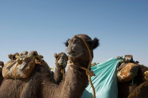Des chameaux, Egypte (2009)