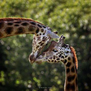 GiraffeCouple