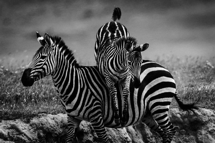 photographie animalière Laurent Baheux