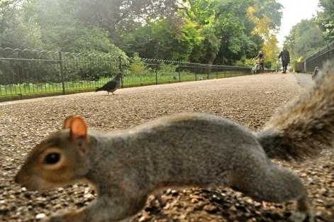 ecureuil-londres