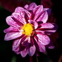 fleur-couleurs