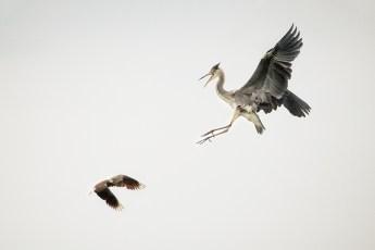 combat-aerien-vanneau-hupp-vs-heron-cendre-800-2