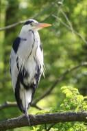 heron-cendre-branche