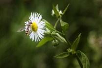 la-syrphe-et-la-fleur-950
