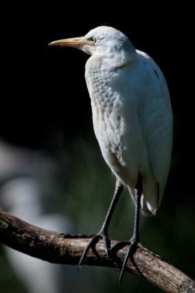 oiseaux-echassiers-heron