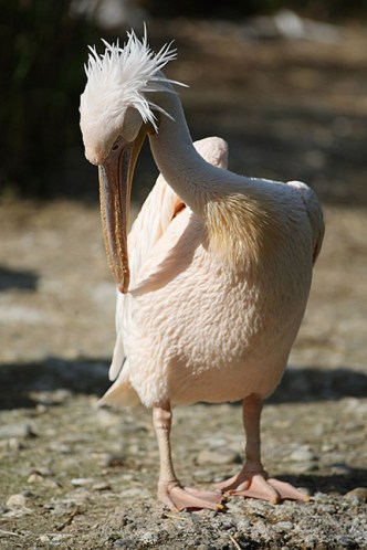 pelican-frise