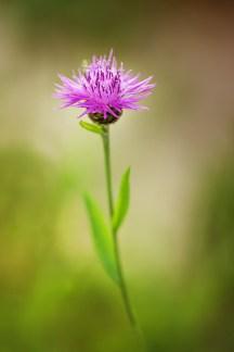 petite-fleur-des-champs