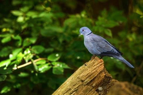 pigeon-arbuste