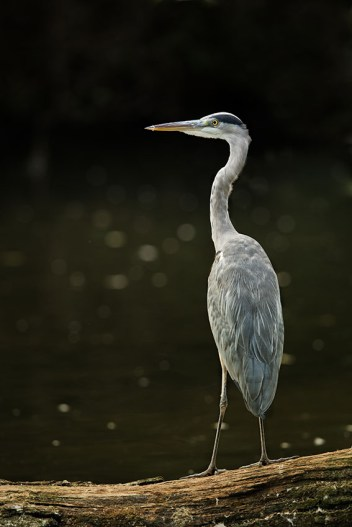 test-canon-ef-200-400-mm-f-4-heron-cendre-850