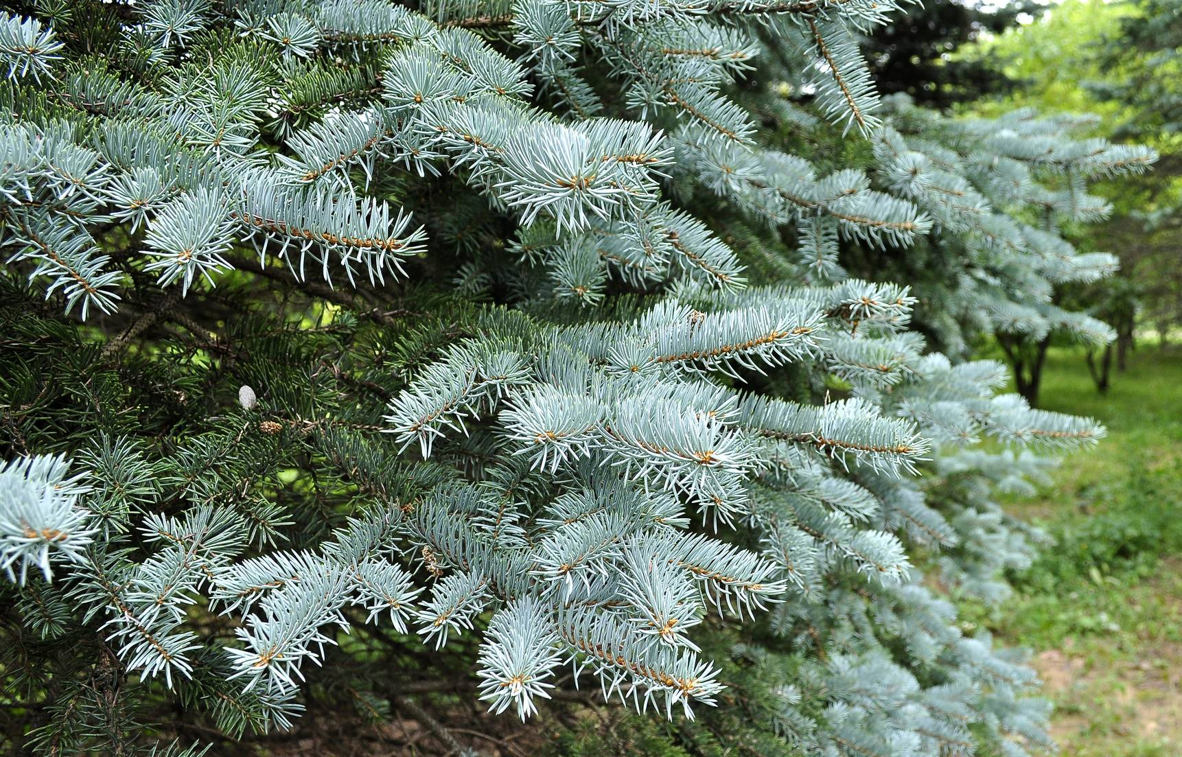 10 Types Of Common Christmas Trees And Their Advantages Davey Blog