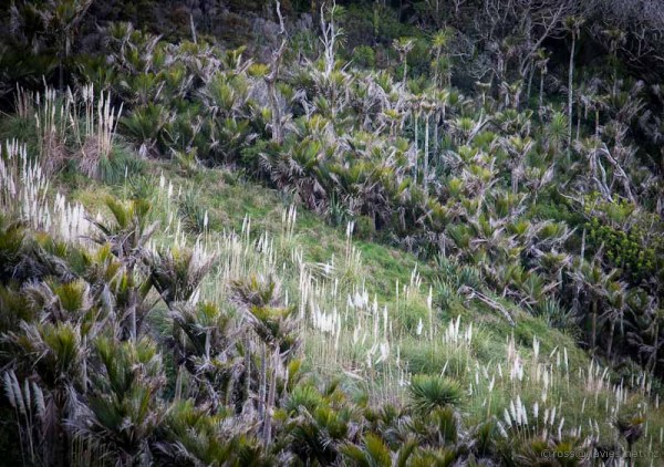 Nikau palms and toi tois on  the Mangawhai Cliff Top Walkway